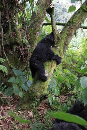 Gorillas-7067