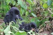 Gorillas-7142